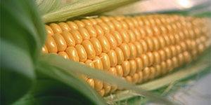 Кукурузный крахмал от производителя