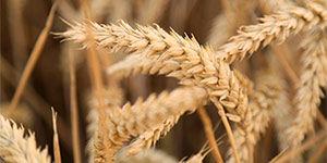 Пшеничный крахмал от производителя